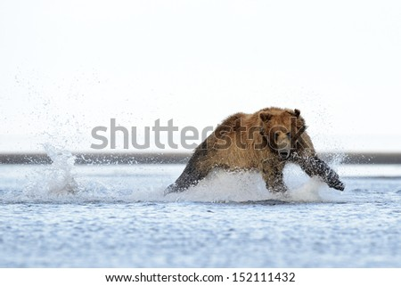 Grizzly Bear running at salmon - stock photo