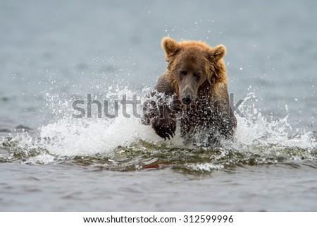 grizzly bear splashing to catch salmon in alaska lake - stock photo