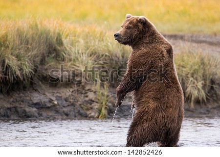 Grizzly Bear Standing in a River While Fishing for Salmon - stock photo