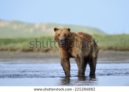 Grizzly Bear standing in river - stock photo