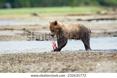 Grizzly Bear (Ursus arctos horribilis) eating a freshly caught unidentified salmon (Oncorhynchus sp). British Columbia, Canada, North America.