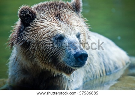 Grizzly Bear (Ursus arctos horribilis).  Head shot of a Grizzly Bear sitting in water. - stock photo