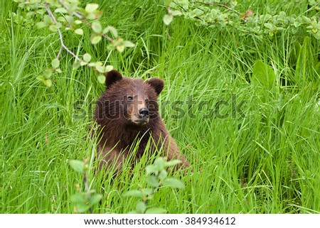 Grizzly bear (Ursus arctos horribilis) sitting in a meadow of long grass