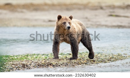Grizzly Bear (Ursus arctos horribilis) standing at waterside. British Columbia, Canada, North America.