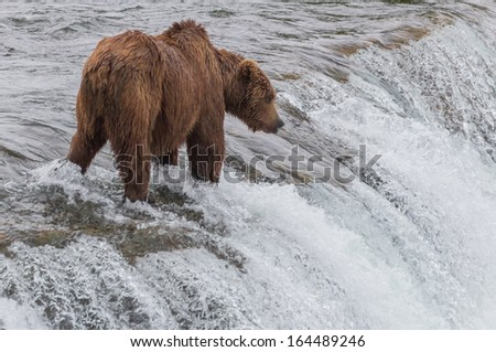 Grizzly Bear Waiting for Salmon at Brooks Falls, Katmai National Park, Alaska - stock photo
