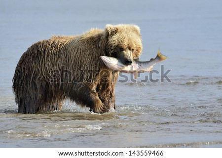 Grizzly Bear with salmon in mouth - stock photo