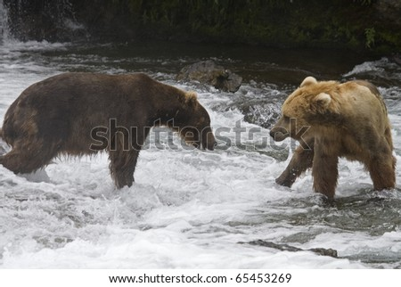 Grizzly Bears fighting over fishing territory in Katmai National Park in Alaska