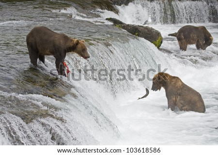 Grizzly Bears fishing in Katmai National Park in Alaska - stock photo