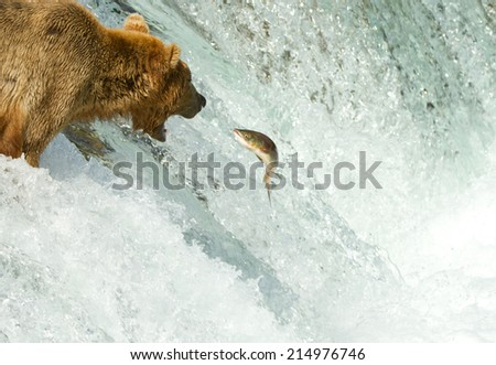 grizzly catching salmon on a waterfall (Alaska) - stock photo