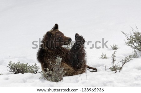 Grizzly cub - stock photo