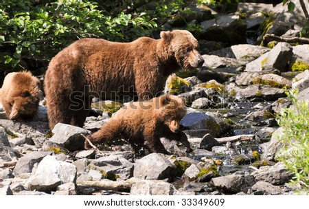 grizzly cub catches first fish - stock photo