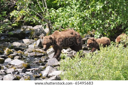 grizzly family on walk - stock photo