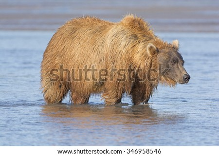 Grizzly Looking for Salmon in Estuary in Hallo Bay in Katmai National Park