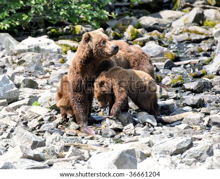 grizzly mother and cubs share a fish - stock photo