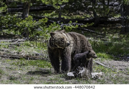 Grizzly stand near her baby in the forest at Yellowstone National park