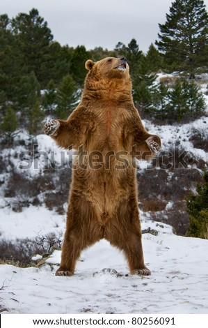 Grizzly standing on snowy hill - stock photo