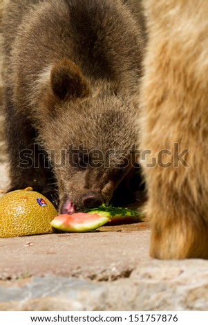 Grizzly (Ursus arctos) bear cubs with mother eating fruit - stock photo