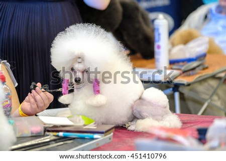 Groomer prepares the dog to the exhibition - stock photo