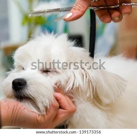 Grooming Maltese dog - stock photo