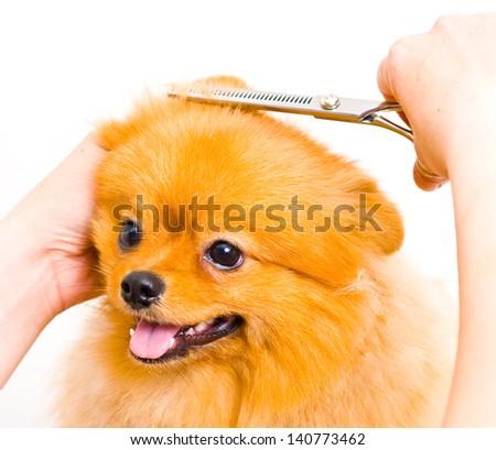 Grooming pomeranian dog - stock photo