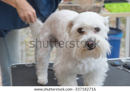 Grooming the background of the white Maltese dog. The dog is looking at the camera.