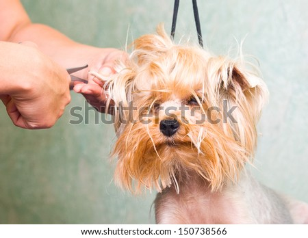 Grooming Yorkshire terrier dog