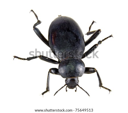Ground beetle isolated on white