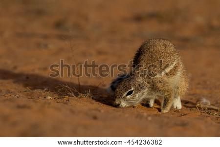 ground squirrel - stock photo