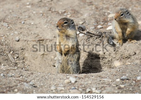 Ground squirrel portrait while looking at you - stock photo