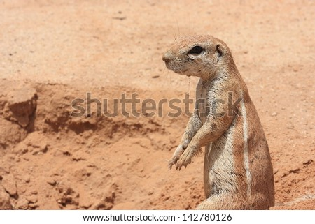 ground squirrel wild animals african mammal savannah plains and deserts africa kalahari desert kgalagadi national park south africa botswana nature parks and nature reserves - stock photo