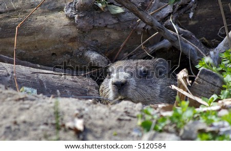 groundhog in den - stock photo