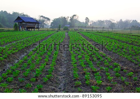 Groundnut farm on early morning