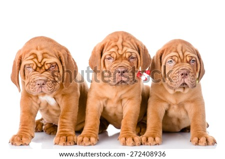Group Bordeaux puppy dog sitting in front. isolated on white background - stock photo