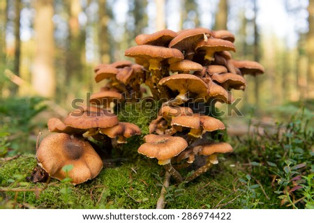 Group brown mushrooms in forest - stock photo