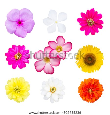 Group flowers, Selection of Various Flowers Isolated on White Background. Red, Pink, Yellow, White Colors including, zinnia, straw, sunflower, primrose, azalea flower
