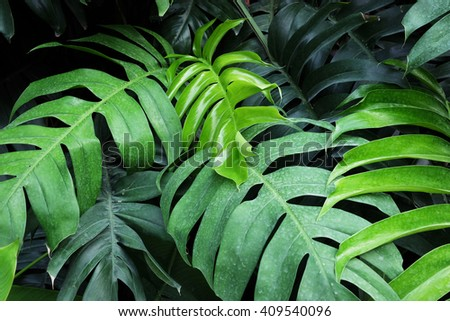 group monstera leaf   - stock photo