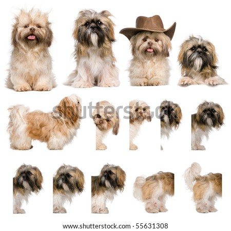 Group montage of shih Tzu, 3 years old, against white background - stock photo