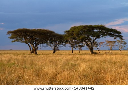 Group of Acacia trees in the Serengeti plains during sunset and with storm clouds in background - stock photo