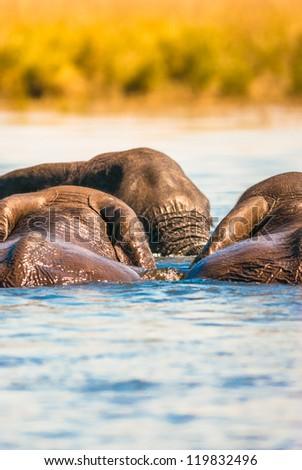 Group of African bush elephants swimming, Chobe National Park - stock photo