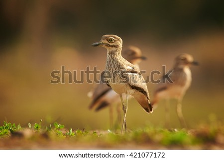 Group of african wader birds,Water Thick-knee, Burhinus vermiculatus standing on the edge of the pond against blurred background. Ground level photography. KwaZulu Natal, South Africa. - stock photo
