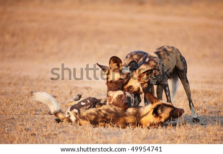 Group of African Wild Dogs (Lycaon pictus), highly endangered species of Africa, playing in savannah - stock photo