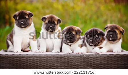 group of american akita puppies - stock photo