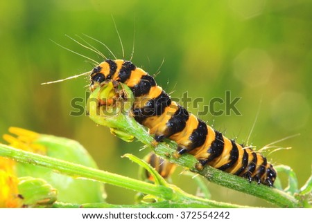 Group of an orange and black striped cinnabar moth caterpillar feed on ragwort - stock photo