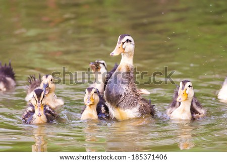 Group of baby duck playing on water - stock photo