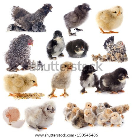 group of bantam silkie on a white background