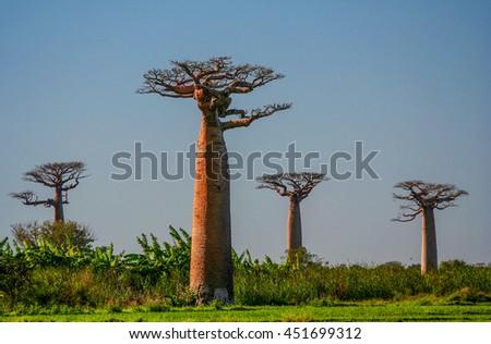 Group of baobabs near Morondava in Madagascar - stock photo