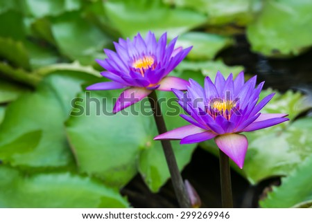 group of beautiful lotus in the pond.