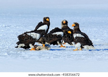 Group of beautiful Steller's sea eagle, Haliaeetus pelagicus. Bird of prey, with winter lake, Kamchatka, Russia. Wildlife action behaviour scene. Snow on the ice with eagles. Eagles with fish.  - stock photo