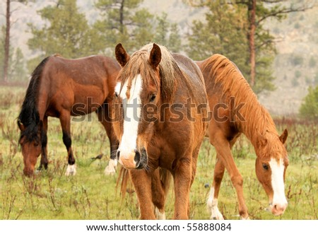 Group of beautiful wild horses, grazing in the American west - stock photo