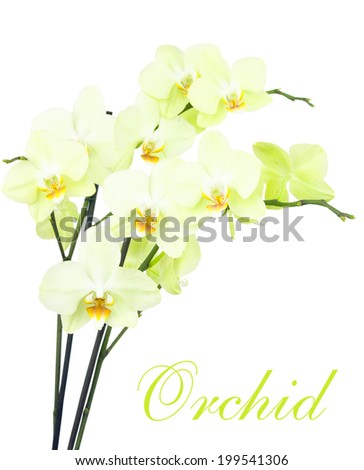 Group of beautiful yellow orchids isolated on white background - stock photo